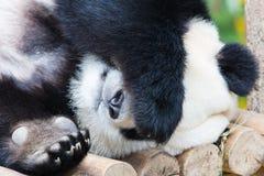 Panda géant dormant sur la plate-forme en bois Image libre de droits