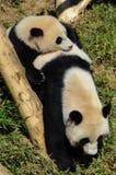 Panda géant et petit animal Image stock
