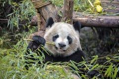 Panda géant mangeant le bambou Images libres de droits