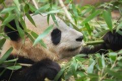 Panda géant mangeant le bambou Photos libres de droits