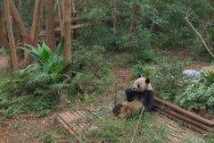 Panda géant mangeant le bambou Images stock