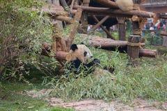 Panda géant mangeant le bambou Photo stock