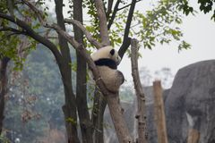Panda géant mangeant le bambou Image stock