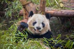 Panda géant mangeant le bambou Photographie stock libre de droits