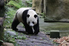 Panda géant pelucheux en Chine photos stock