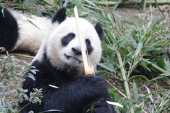 Panda géant pelucheux fermé- à Chengdu, Chine Photo stock