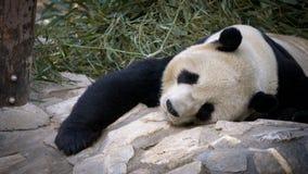 Panda géant se reposant au zoo Images libres de droits
