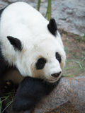 Panda géant se trouvant sur un repos de roche Photo libre de droits