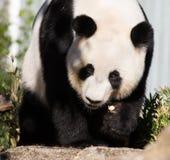 Panda g?ant, melanoleuca d'Ailuropoda, ou Panda Bear Fermez-vous du panda mignon g?ant avec les yeux au beurre noir lumineux rega images stock