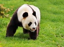Panda géant Images stock