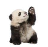 panda géant de 6 d'ailuropoda mois de melanoleuca Images stock