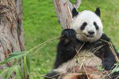 Panda. Giant panda bear eating bamboo leave Stock Photos