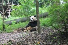 Panda Giant, Chengdu Chine Image libre de droits