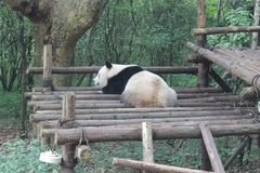 Panda Giant, Chengdu Chine Photo stock