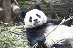 Panda Bear. A Giant Panda in Chengdu, China Stock Photo