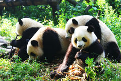 Panda. The giant panda reserve in Chengdu Stock Photos