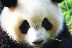Panda Royalty Free Stock Image