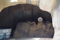 Panda gigante fotografie stock
