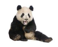 Panda gigante (18 meses) - melanoleuca do Ailuropoda Fotografia de Stock