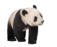 Panda gigante (18 meses) - melanoleuca do Ailuropoda Imagens de Stock