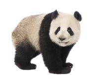 Panda gigante (18 mesi) - melanoleuca del Ailuropoda Fotografia Stock