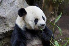 Panda gigante Fotografía de archivo