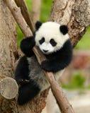 Panda gigante Fotografia Stock