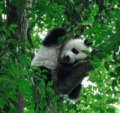 Panda gigante Fotos de archivo libres de regalías