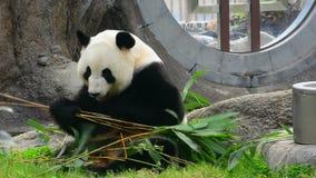 Panda gigante metrajes