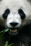 Panda gigante Imagem de Stock