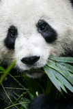 Panda gigante Fotos de Stock