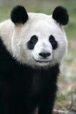 Panda gigante Fotografia de Stock Royalty Free