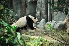 Panda gigante Imagens de Stock Royalty Free