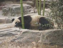 Panda gigante Imagen de archivo