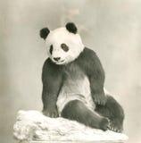 Panda gigante Fotografie Stock Libere da Diritti