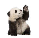 Panda gigante (6 meses) - melanoleuca del Ailuropoda Imagenes de archivo