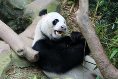 Panda gigante 1 Immagini Stock