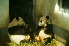 A panda gigante Imagens de Stock Royalty Free