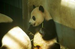 A panda gigante Fotos de Stock Royalty Free