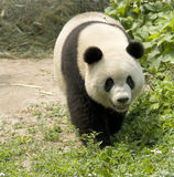 Panda gigante foto de archivo