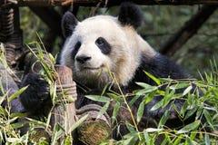 Panda gigante adulto che mangia bambù, Chengdu Cina Immagine Stock Libera da Diritti