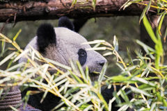 Panda gigante adulto che mangia bambù, Chengdu Cina Fotografie Stock Libere da Diritti