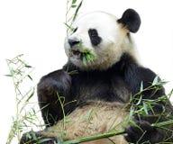Panda gigante aislada que come el bambú Fotos de archivo libres de regalías