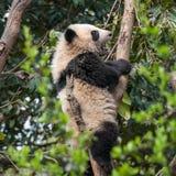 Panda gigante in albero Immagini Stock