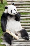 Panda gigante che mangia bambù Fotografie Stock Libere da Diritti