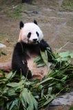 Panda gigante che mangia bambù Fotografia Stock