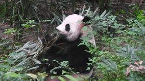 Panda gigante che mangia bambù alla mattina video d archivio