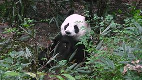 Panda gigante che mangia bambù alla mattina stock footage