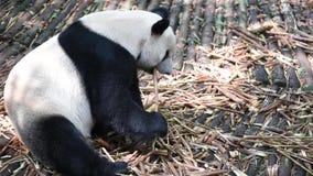 Panda gigante che mangia primo piano di bambù archivi video