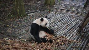 Panda gigante che mangia primo piano di bambù stock footage